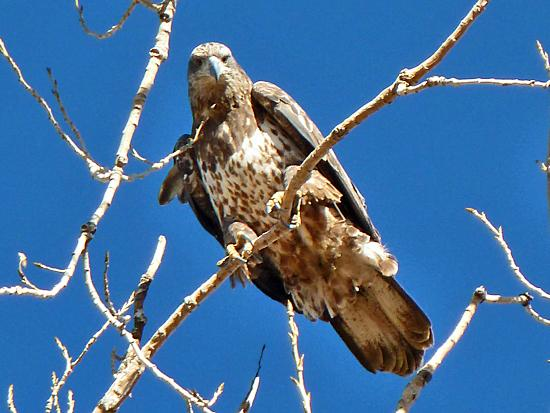 Winter is the best time to see raptors at Barr Lake State Park