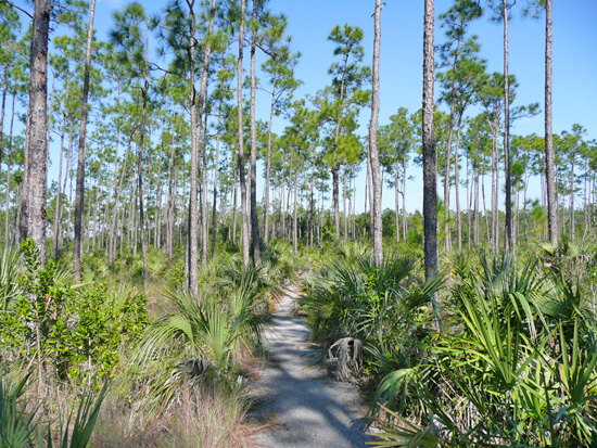 The Pinelands Trail loops through a healthy Slash Pine forest