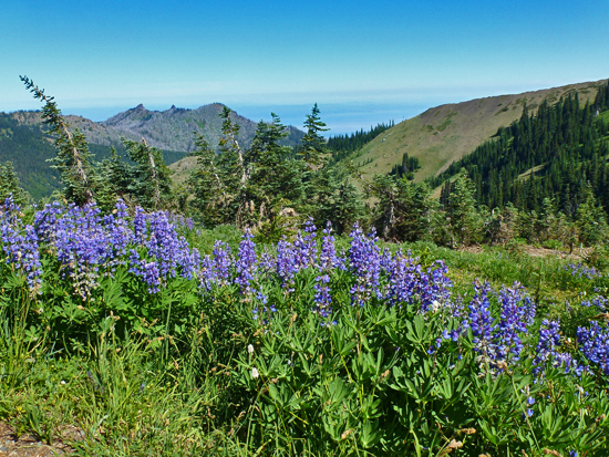 Broadleaf Lupine is among dozens of wildflower species found within Hurricane Ridge