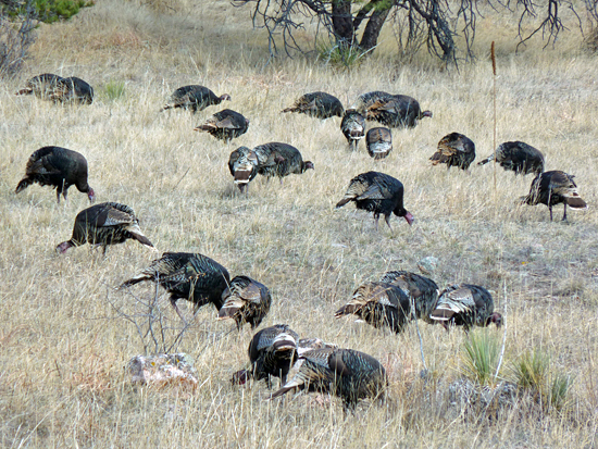 Wild Turkeys Feeding in Heil Ranch Boulder